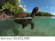 Split level view of Aldabra giant tortoise (Aldabrachelys gigantea) swimming in Passe Grande Magnan / Magnan channel, Aldabra, Indian Ocean Image taken under controlled conditions. Стоковое фото, фотограф Willem  Kolvoort / Nature Picture Library / Фотобанк Лори