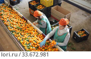 Купить «Cheerful female workers sort tangerines on the producing sorting line at fruit warehouse», видеоролик № 33672981, снято 3 августа 2020 г. (c) Яков Филимонов / Фотобанк Лори