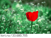 Spring summer floral garden natural background with copy space with one red blooming tulip and lush vibrant green grass on a sunny warm day on the lawn. Gardening, floriculture, plant growing. Стоковое фото, фотограф Светлана Евграфова / Фотобанк Лори