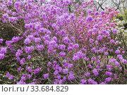 Купить «Pinkish-purple flowering Rhododendron mucronulatum - Korean rhododendron shrub in spring, Quebec, Canada.», фото № 33684829, снято 11 мая 2019 г. (c) age Fotostock / Фотобанк Лори