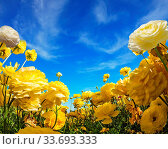 Warm day in May. Light clouds in the blue sky. Large yellow garden ranunculus - buttercups bloom on a farm field. Concept of ecological, rural and photographic tourism. Стоковое фото, фотограф Zoonar.com/kavram / easy Fotostock / Фотобанк Лори
