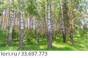 Summer birch grove. Стоковое фото, фотограф Дмитрий Тищенко / Фотобанк Лори