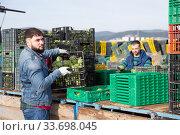 Купить «Serious worker carrying crates with artichokes», фото № 33698045, снято 28 мая 2020 г. (c) Яков Филимонов / Фотобанк Лори