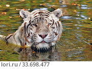 Tiger (Panthera tigris) close-up of leucistic / white animal bathing in pool. Captive setting, India. Стоковое фото, фотограф Daniel Heuclin / Nature Picture Library / Фотобанк Лори