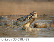 Nile crocodile (Crocodylus niloticus) feeding on Hippopotamus (Hippopotamus amphibius) carcass. Mana Pools National Park Zimbabwe. Стоковое фото, фотограф Tony Heald / Nature Picture Library / Фотобанк Лори