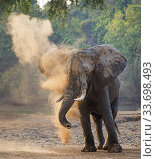 Купить «African elephant (Loxodonta africana) dust bathing, Mana Pools National Park, Zimbabwe.», фото № 33698493, снято 5 июля 2020 г. (c) Nature Picture Library / Фотобанк Лори