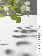 Купить «Evergreen twig of natural Eucalyptus plant with shadows above light grey surface.», фото № 33698589, снято 30 января 2020 г. (c) Ярослав Данильченко / Фотобанк Лори