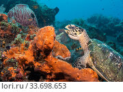 Купить «Hawksbill turtle (Erethmochelys imbricata) feeding on tropical reef, Tulamben, North coast, Bali, Indonesia. Lesser Sunda Islands.», фото № 33698653, снято 31 мая 2020 г. (c) Nature Picture Library / Фотобанк Лори