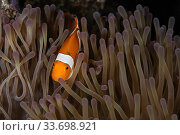 Western clownfish (Amphiprion ocellaris) in sea anemone on reef in Raja Ampat, West Papua, Indonesia. Pacific Ocean. Стоковое фото, фотограф Nick Hawkins / Nature Picture Library / Фотобанк Лори
