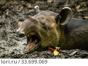 Baird's tapir (Tapirus bairdii) yawns while wallowing in Mud put in Corcovado National Park, Costa Rica. January. Endangered. Стоковое фото, фотограф Nick Hawkins / Nature Picture Library / Фотобанк Лори