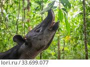 Baird's tapir (Tapirus bairdii) browsing on leaves, rainforest... Стоковое фото, фотограф Nick Hawkins / Nature Picture Library / Фотобанк Лори