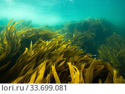 Kelp forests growing off Kejimkujik National Park, Nova Scotia, Canada. August. Стоковое фото, фотограф Nick Hawkins / Nature Picture Library / Фотобанк Лори