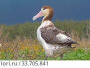 Short-tailed albatross (Phoebastria albatrus) juvenile, Sand Island, Midway, Hawaii. Стоковое фото, фотограф Sylvain Cordier / Nature Picture Library / Фотобанк Лори