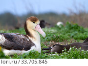 Купить «Short-tailed albatross (Phoebastria albatrus) juvenile, Sand Island, Midway, Hawaii», фото № 33705845, снято 1 июня 2020 г. (c) Nature Picture Library / Фотобанк Лори