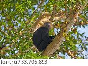 Nilgiri langur (Trachypithecus johnii) Anaimalai Mountain Range (Nilgiri hills), Tamil Nadu, India. Стоковое фото, фотограф Sylvain Cordier / Nature Picture Library / Фотобанк Лори