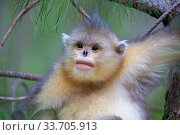 Yunnan snub-nosed monkey (Rhinopithecus bieti), young in tree, Yunnan province, China. Стоковое фото, фотограф Sylvain Cordier / Nature Picture Library / Фотобанк Лори