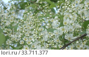Купить «blossoming bird-cherry tree bunch with white flowers and green leaves in a sunny spring day,Focus on medium flowers», видеоролик № 33711377, снято 17 мая 2009 г. (c) Куликов Константин / Фотобанк Лори