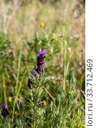 Купить «Plant (Lavandula stoechas) grows in its natural habitat close-up», фото № 33712469, снято 7 марта 2020 г. (c) Татьяна Ляпи / Фотобанк Лори