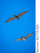 Large water birds gliding through the sky and enjoying the breeze of it. Стоковое фото, фотограф Zoonar.com/Cheri Alguire ImagesByCheri.com / easy Fotostock / Фотобанк Лори