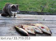 Купить «Серый кот пытается стащить пойманную рыбу», эксклюзивное фото № 33719053, снято 11 мая 2014 г. (c) Dmitry29 / Фотобанк Лори