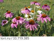 Купить «Эхинацея (Echinacea purpurea) в саду на фоне зелени», фото № 33719385, снято 11 сентября 2019 г. (c) Елена Орлова / Фотобанк Лори