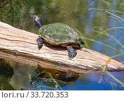 Купить «Американская болотная черепаха греется на солнышке», фото № 33720353, снято 1 марта 2020 г. (c) Галина Савина / Фотобанк Лори