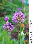 Allium Giganteum in pink colors. Стоковое фото, фотограф Марина Володько / Фотобанк Лори