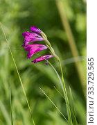 Купить «Blooming gladiolus imbricate on spring meadow.», фото № 33729565, снято 31 мая 2020 г. (c) age Fotostock / Фотобанк Лори