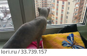 Купить «Sphynx cat looking at window, watching flying snowflakes from high level floor», видеоролик № 33739157, снято 22 января 2020 г. (c) Кекяляйнен Андрей / Фотобанк Лори