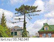 Купить «Сосна чёрная австрийская (Pinus nigra J.F.Arnold) в городском ландшафте», фото № 33742041, снято 8 мая 2020 г. (c) Ирина Борсученко / Фотобанк Лори