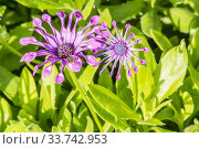 Osteospermum 'Whirligig'. Стоковое фото, фотограф Alain Kubacsi / age Fotostock / Фотобанк Лори