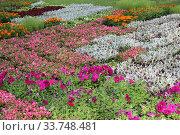 Рассада для уличных клумб и цветников в Москве (2017 год). Стоковое фото, фотограф Елена Орлова / Фотобанк Лори