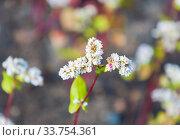 Купить «Гречиха посевная, гречиха съедобная или гречиха обыкновенная (Fagopyrum esculentum)», фото № 33754361, снято 14 июля 2019 г. (c) Алёшина Оксана / Фотобанк Лори