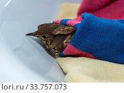 Erste Hilfe bei verletztem Vogel - Nahaufnahme Drossel. Стоковое фото, фотограф Zoonar.com/Alfred Hofer / easy Fotostock / Фотобанк Лори