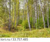 Купить «Birch grove in the forest», фото № 33757485, снято 7 сентября 2019 г. (c) Дмитрий Тищенко / Фотобанк Лори