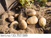 Купить «Fresh dug potatoes in a field on the ground, harvesting in autumn», фото № 33757589, снято 4 сентября 2019 г. (c) Юлия Бабкина / Фотобанк Лори