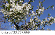 Купить «Cherry blossom in spring against a blue sky», видеоролик № 33757669, снято 15 мая 2020 г. (c) Алексей Кузнецов / Фотобанк Лори