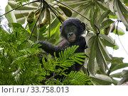 Bonobo (Pan paniscus) baby in tree, Democratic Republic of Congo. Стоковое фото, фотограф Karine Aigner / Nature Picture Library / Фотобанк Лори