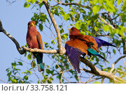 Купить «Broad-billed roller (Eurystomus glaucurus) Tsingy Bemaraha National Park, Madagascar.», фото № 33758121, снято 31 мая 2020 г. (c) Nature Picture Library / Фотобанк Лори