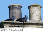 Купить «Jackdaw (Corvus monedula) pair perched by a chimney pot they are nesting in, Wiltshire, UK, March.», фото № 33758361, снято 3 июня 2020 г. (c) Nature Picture Library / Фотобанк Лори