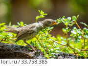 Купить «Darwin's medium ground finch (Geospiza fortis) drinking raindrops from foliage in Tui De Roy's garden, Santa Cruz Island, Galapagos Islands», фото № 33758385, снято 5 июня 2020 г. (c) Nature Picture Library / Фотобанк Лори
