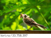 Купить «Galapagos mockingbird (Mimus parvulus) catching hawkmoth in photographer Tui De Roy's garden, Santa Cruz Island, Galapagos Islands», фото № 33758397, снято 4 июня 2020 г. (c) Nature Picture Library / Фотобанк Лори