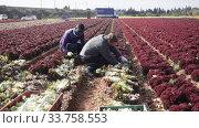 Купить «Two male gardeners picking harvest of red lettuce in garden outdoor», видеоролик № 33758553, снято 18 января 2020 г. (c) Яков Филимонов / Фотобанк Лори