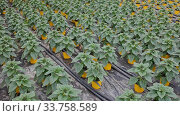 Купить «Green plantation of non flowering ornamental Helianthus growing in pots in greenhouse», видеоролик № 33758589, снято 2 июня 2020 г. (c) Яков Филимонов / Фотобанк Лори