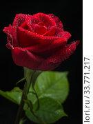 Красная роза на чёрном фоне с каплями росы. Стоковое фото, фотограф Сулимов Андрей / Фотобанк Лори