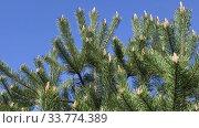 Купить «Beautiful natural background with blue sky and pine tree branches», видеоролик № 33774389, снято 16 мая 2020 г. (c) Алексей Кузнецов / Фотобанк Лори