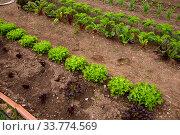 Rows of harvest of lettuce in garden outdoor. Стоковое фото, фотограф Яков Филимонов / Фотобанк Лори