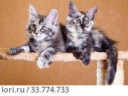 Two Maine Coon kitten. Стоковое фото, фотограф Gagara / Фотобанк Лори
