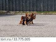 Two funny chihuahua dogs bark sitting on the pavement. Стоковое фото, фотограф Евгений Харитонов / Фотобанк Лори