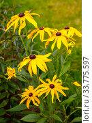 Купить «Rudbeckia flowers», фото № 33775597, снято 1 августа 2019 г. (c) Юлия Бабкина / Фотобанк Лори